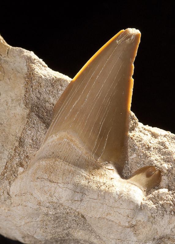 Зуб акулы Номер фотографии: Tooth-1 Размер фотографии: px.